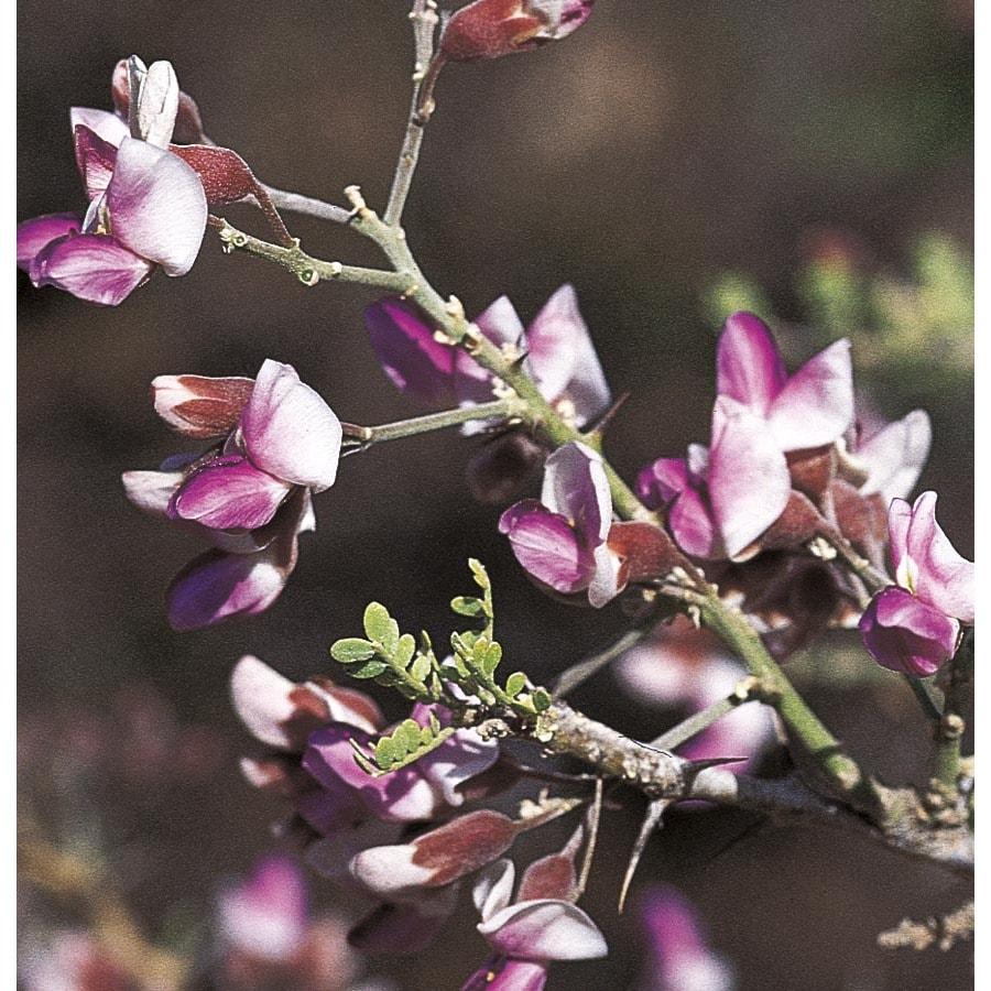 108.34-Gallon Desert Ironwood Flowering Tree (L14922)