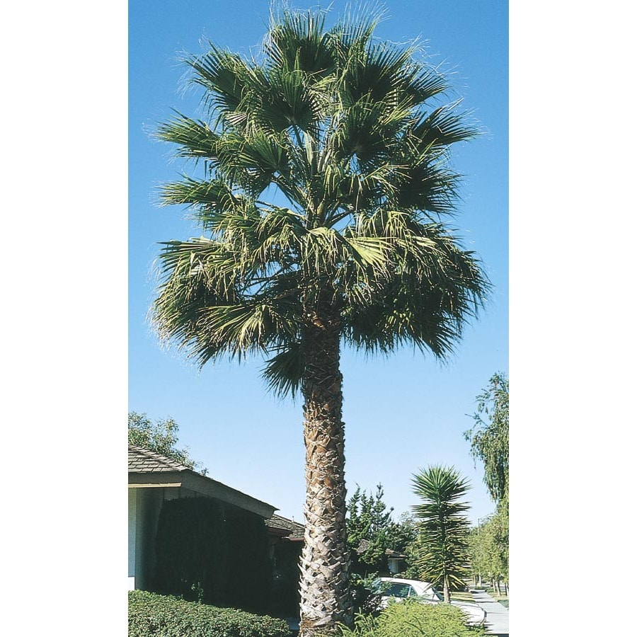 27.5-Gallon California Fan Palm (L7197)