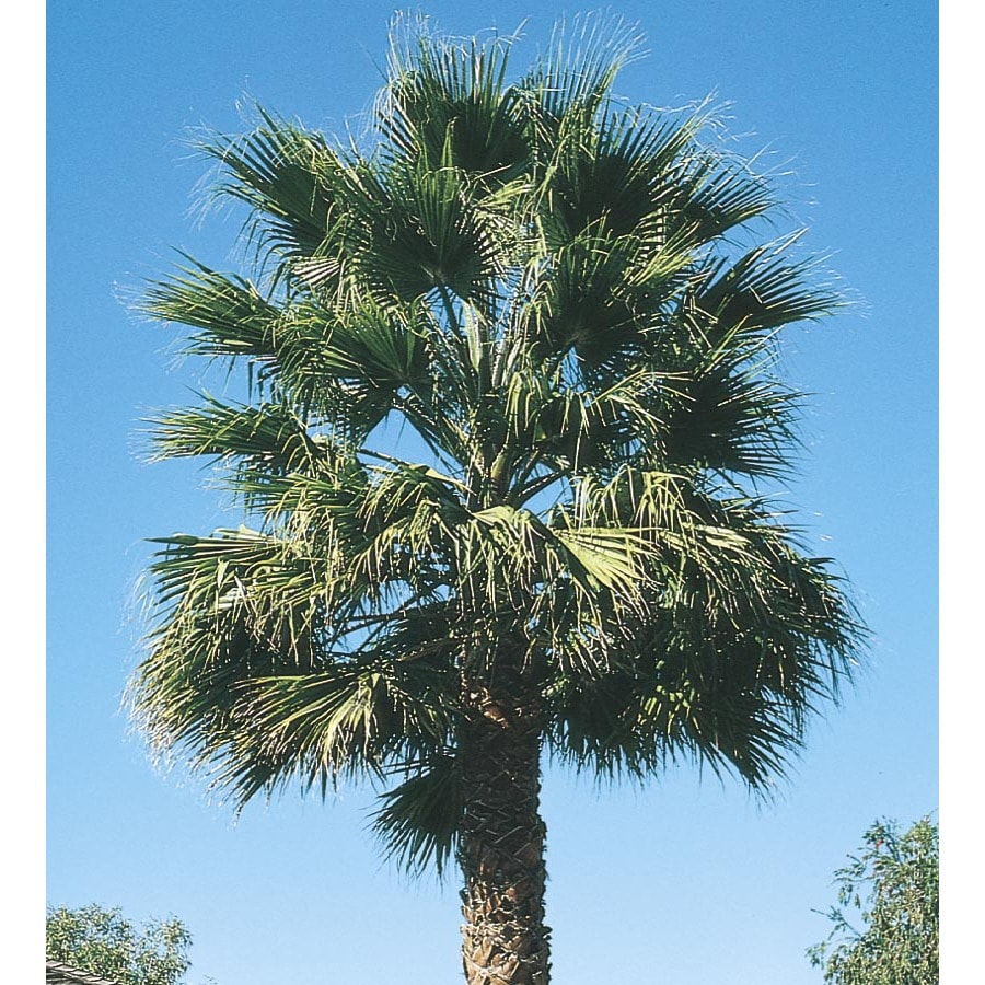 28.5 Gallon California Fan Palm (L7197)