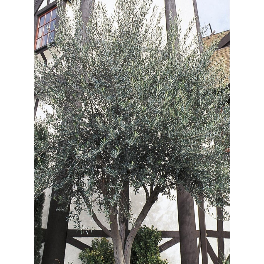 108.34-Gallon European Olive Feature Tree (L14921)