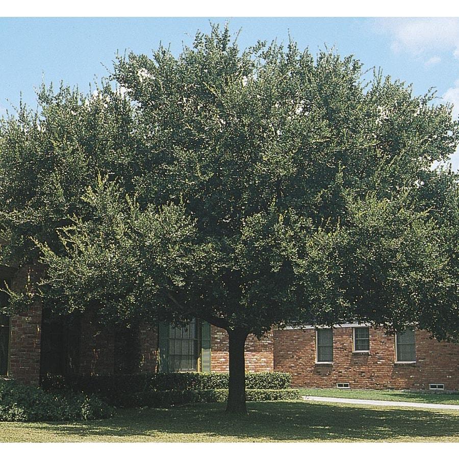 108.34-Gallon Live Oak Shade Tree (L3670)