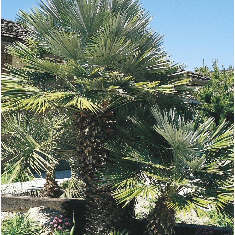 108.34 Gallon European Fan Palm (L9064)