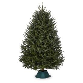 9-10 ft Fraser Fir Real Christmas Tree