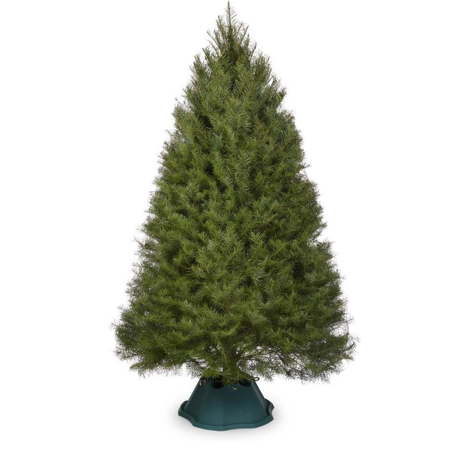 5 6 Ft Douglas Fir Real Christmas Tree In The Fresh Christmas Trees Department At Lowes Com