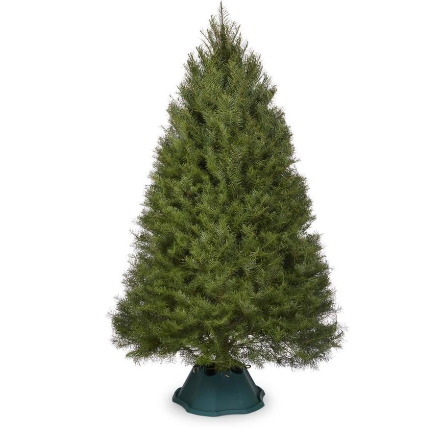 Real Christmas Trees Lowes: 5-6 Ft Douglas Fir Real Christmas Tree At Lowes.com