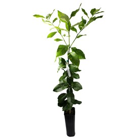 GrowScripts 4 Inch Citrus Lemon Tree