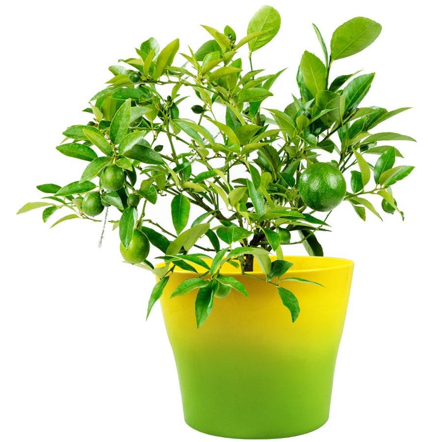 GrowScripts 1 Gallon Cocktail Citrus Limon Meyer And Aurantifloria Tree