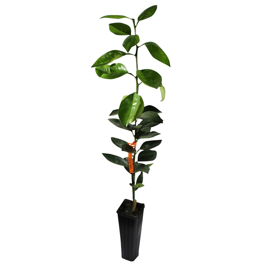 GrowScripts 4 Inch Citrus Sinensis Orange Tree
