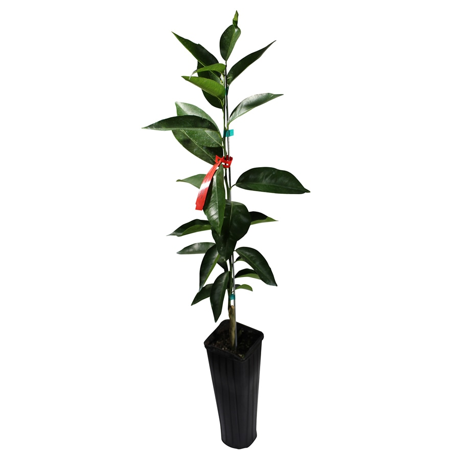 GrowScripts 4 Inch Citrus Reticulata Tangerine Tree