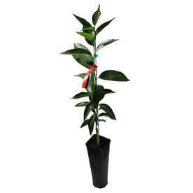 GrowScripts 4 Inch Citrus Reticulata Tangerine Tree