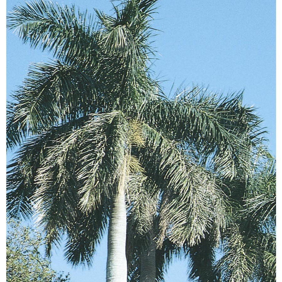 10.25-Gallon Florida Royal Palm (L0049)