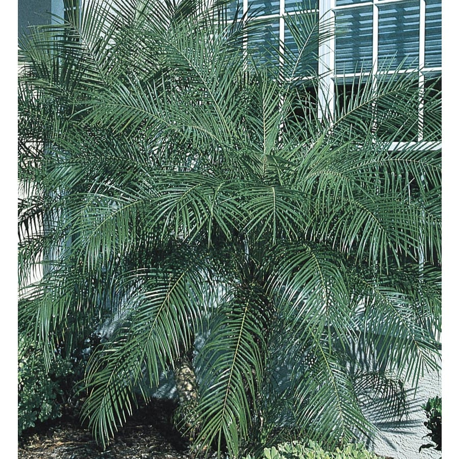 Pygmy date palm growth rate in Melbourne