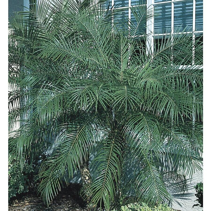 27.5-Gallon Pygmy Date Palm (LTL0059)