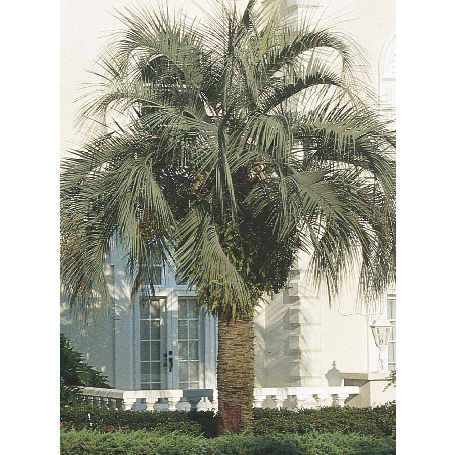 108.34-Gallon Pindo Palm (L6017)