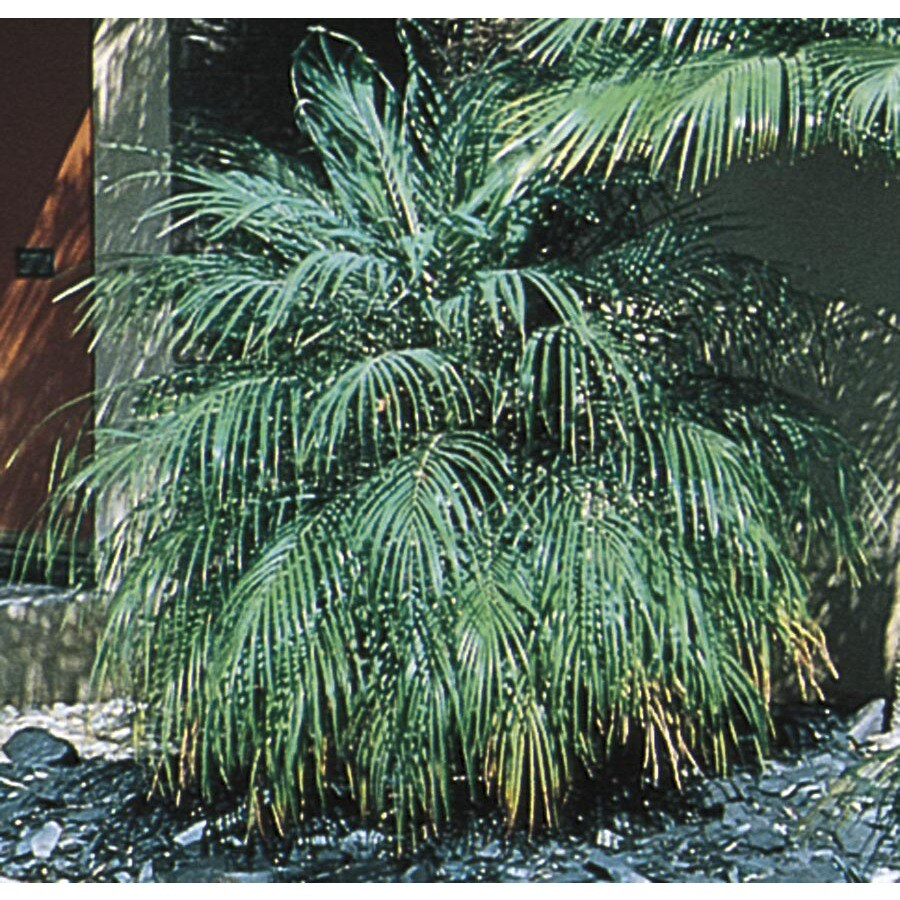 28.5 Gallon Pygmy Date Palm (L7542)