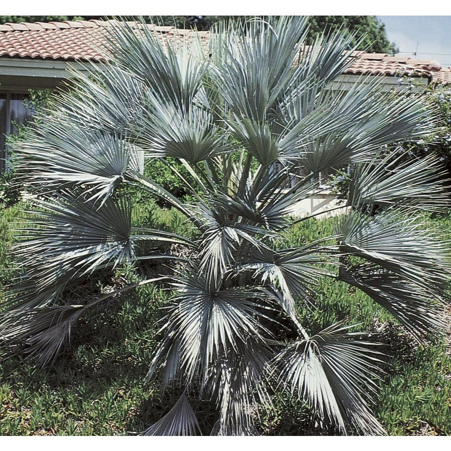 27.5-Gallon Mexican Blue Fan Palm (L25018)