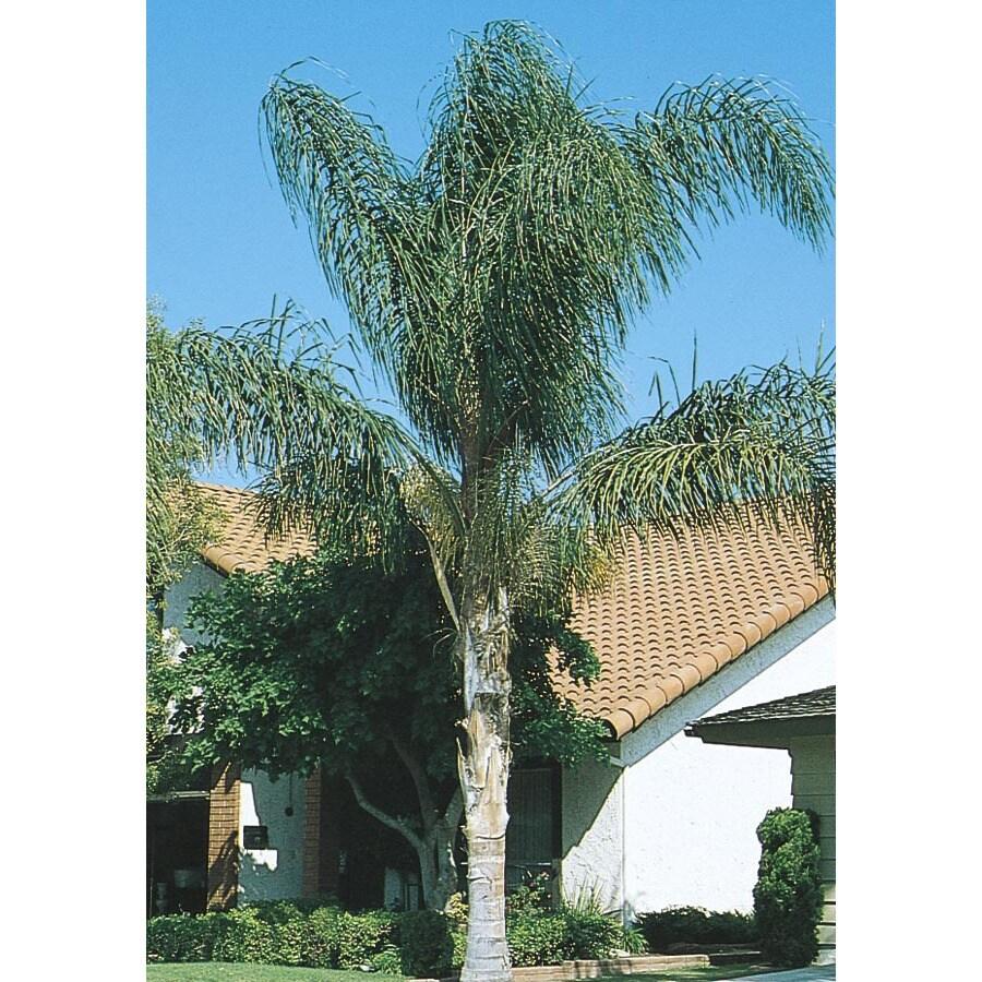 27.5-Gallon Queen Palm (L6258)