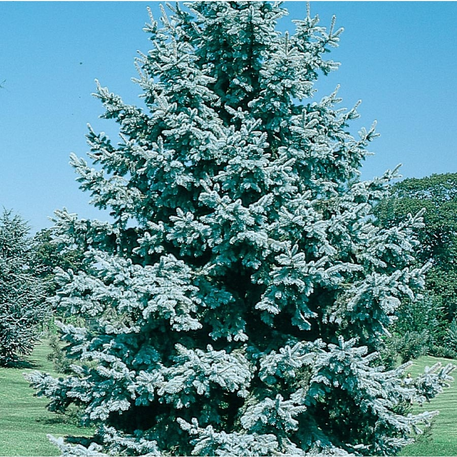 3.25-Gallon Colorado Blue Spruce Feature Tree (L3937)