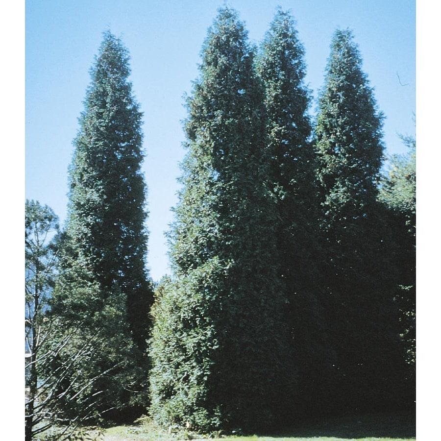 1.5-Gallon Green Giant Arborvitae Screening Shrub (LW01577)