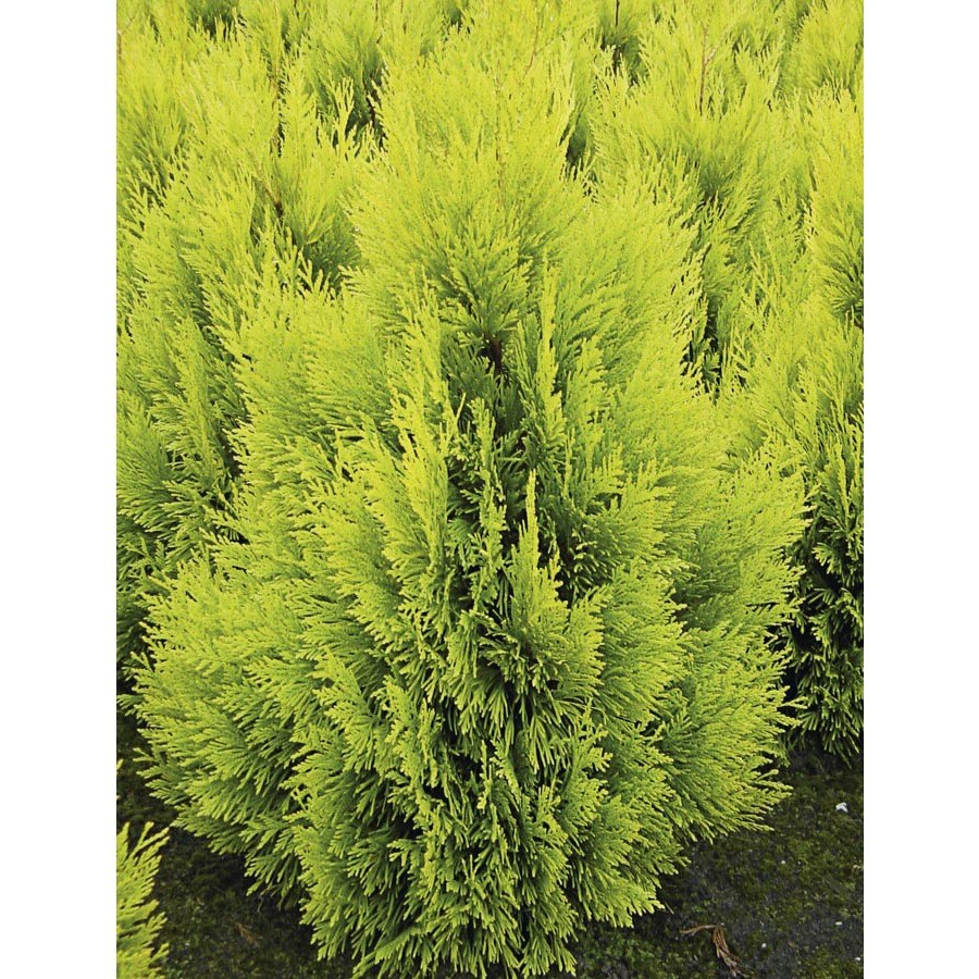1.5-Gallon 4Ever Gold Arborvitae Feature Shrub (L21565)