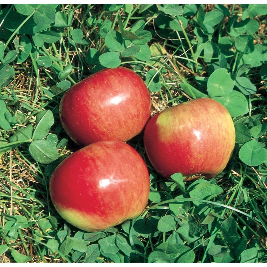 3.25-Gallon State Fair Semi-Dwarf Apple Tree (L5968)