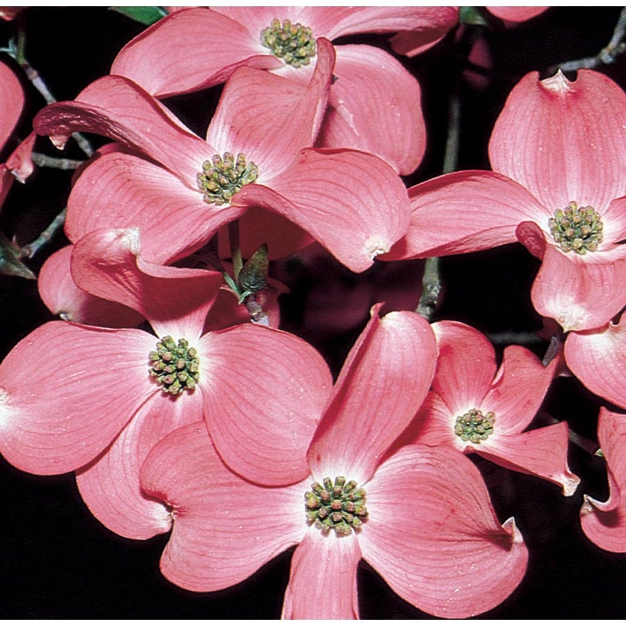 1366 Gallon Pink Stellar Pink Dogwood Flowering Tree In Pot With