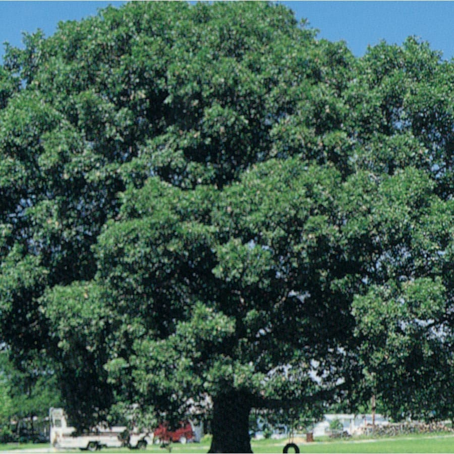 3.25-Gallon White Oak Shade Tree (L7386)