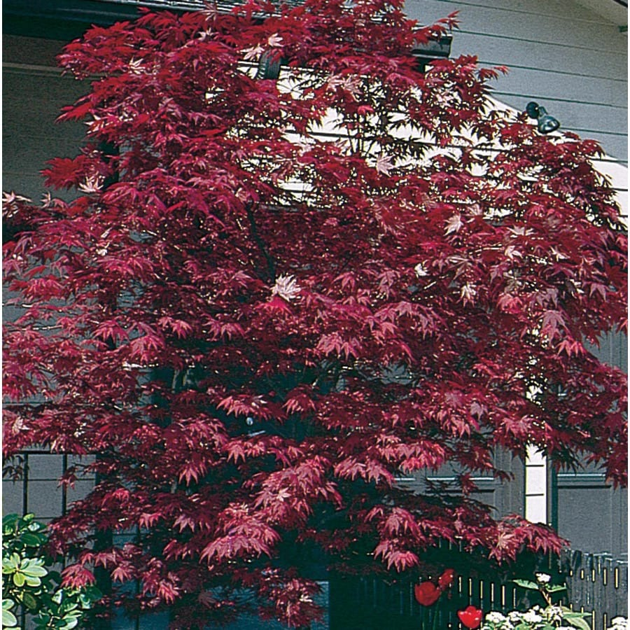 15 Gallon Red Assorted Upright Japanese Maple Feature Tree In Pot