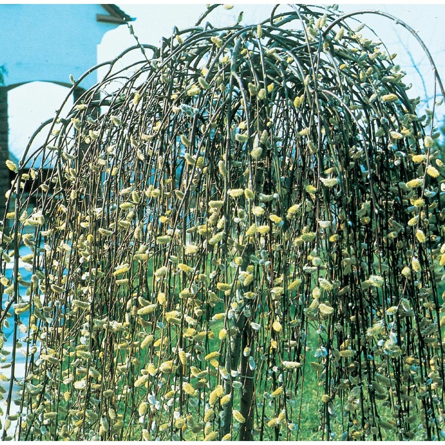 3.25-Gallon Yellow Weeping Pussy Willow Tree Feature Shrub (LW01654)