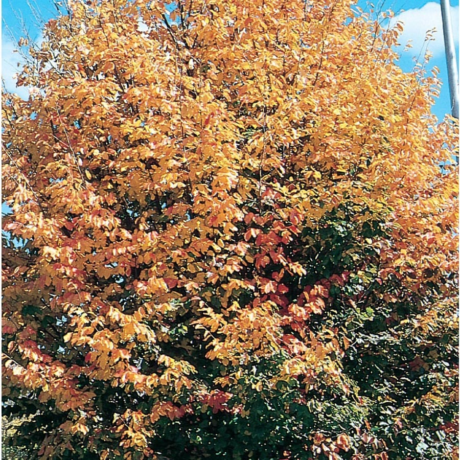3.25-Gallon Ironwood Feature Tree (L26667)