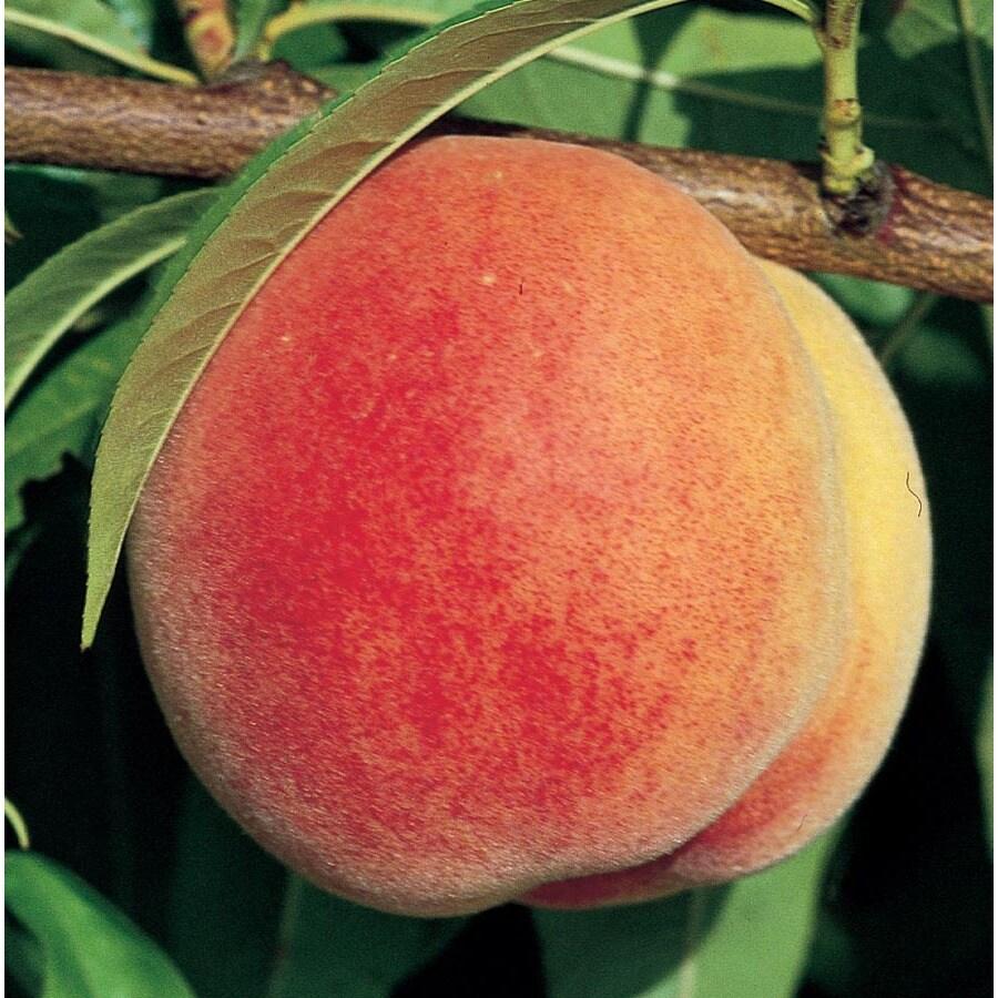 13.66-Gallon Peach Tree (Lw01268)