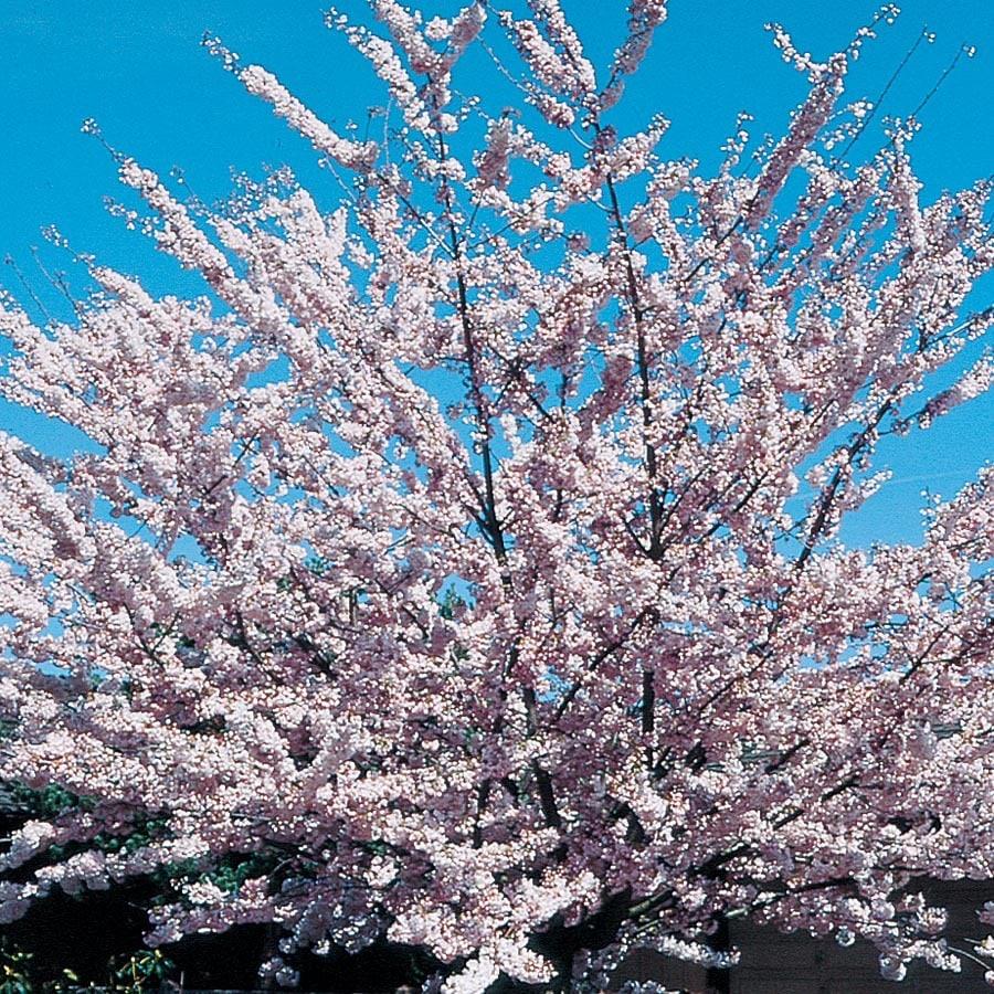 13.66-Gallon Akebono Flowering Cherry Flowering Tree (L6127)