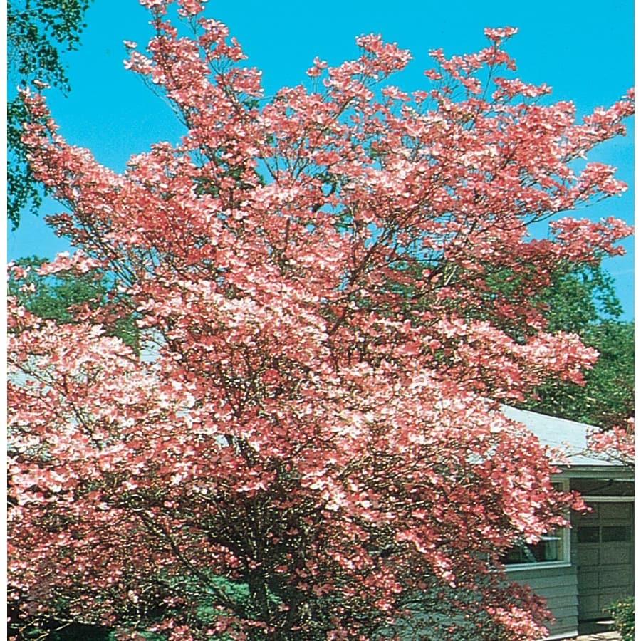 Shop 1366 Gallon Cherokee Brave Dogwood Flowering Tree L1027 At