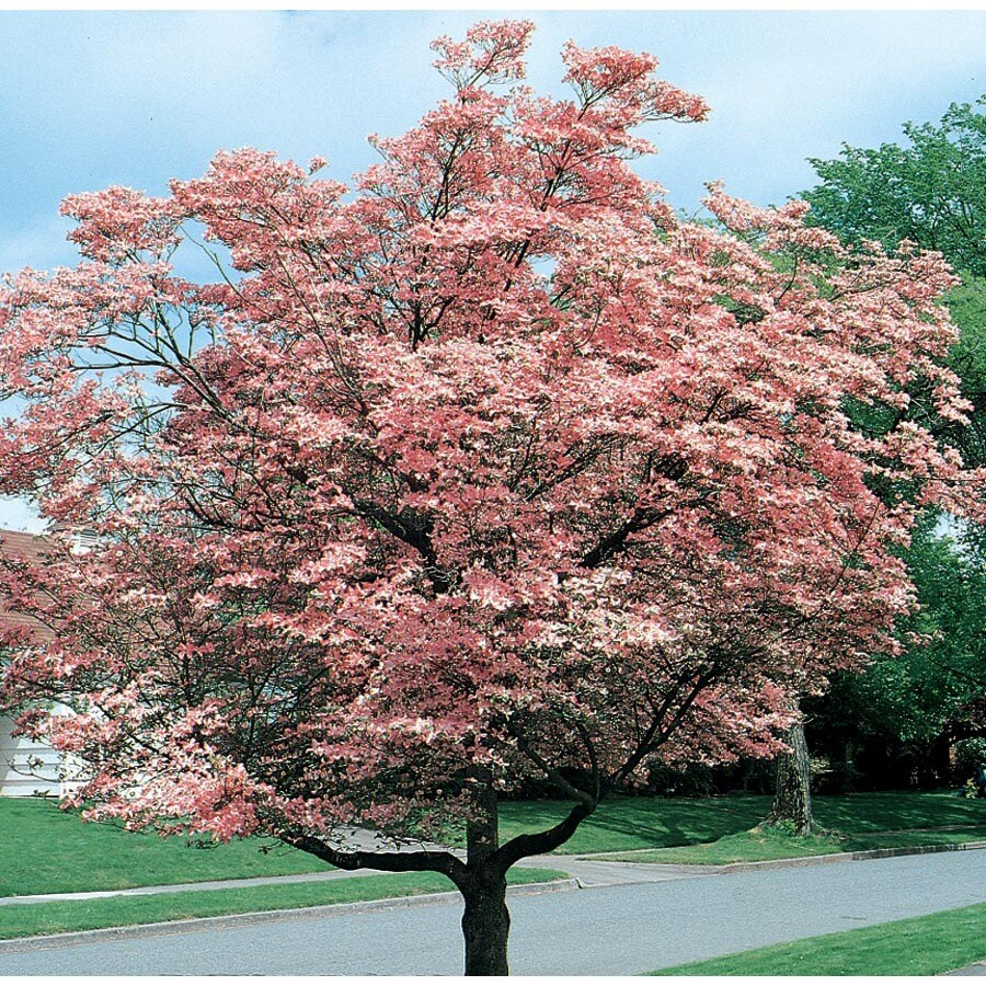 13.66-Gallon Pink Flowering Dogwood Flowering Tree (L3181)