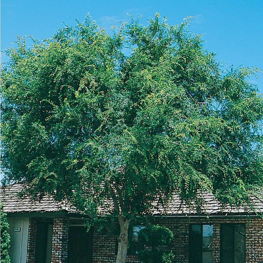 13.66-Gallon Lace Bark/Chinese Elm Shade Tree (L4376)
