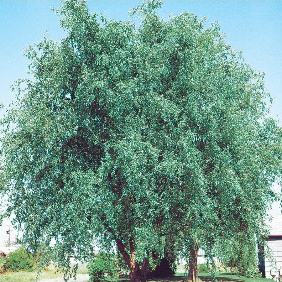 13.66-Gallon Corkscrew Willow Feature Tree (L4390)