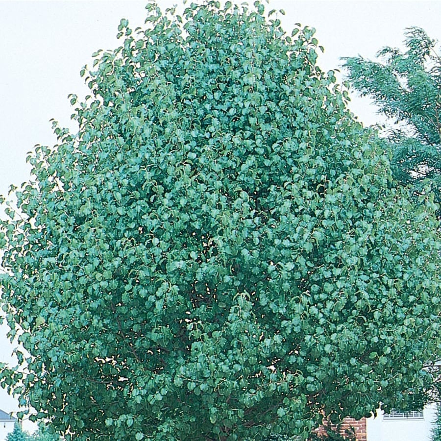 8.75-Gallon Redspire Flowering Pear Flowering Tree (L3667)