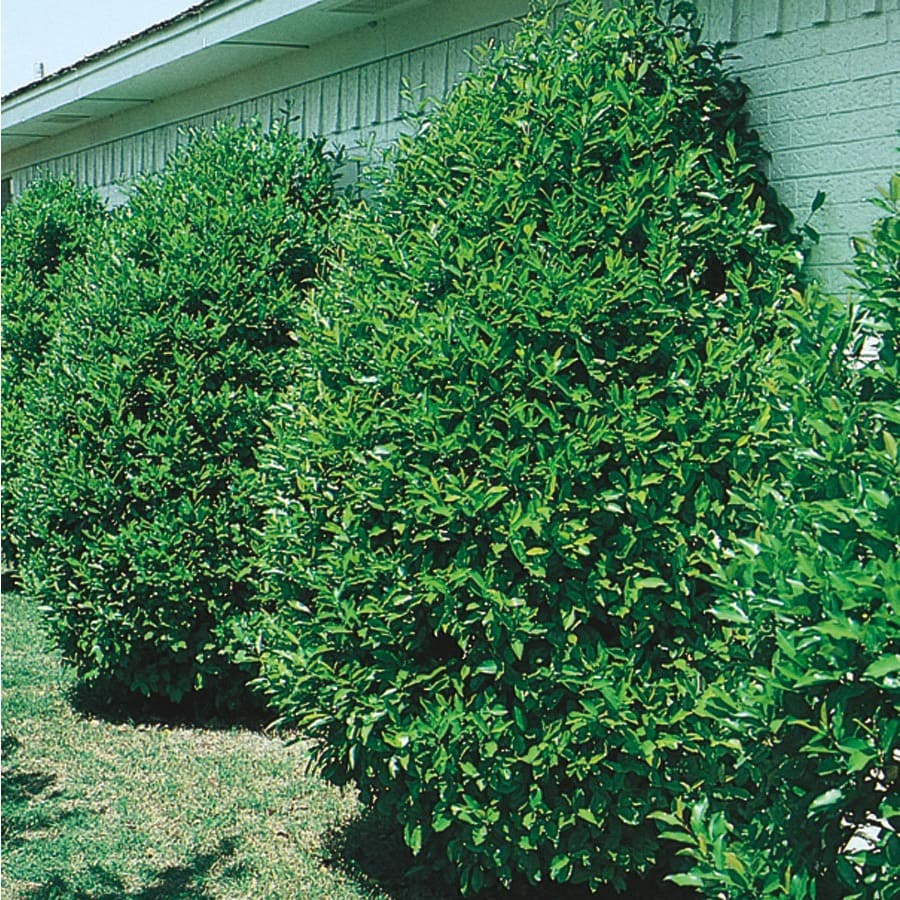 8.75-Gallon Carolina Cherry Laurel Screening Tree (L11188)