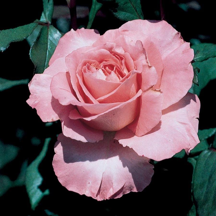 1.5-Gallon Pink Pink Rose Flowering Shrub (L3272)