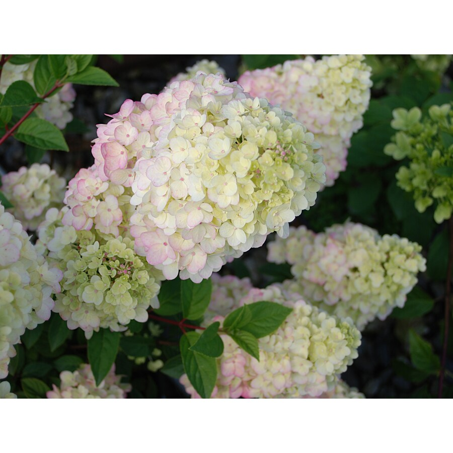 2 Gallon White First Editions Strawberry Sundae Hydrangea Flowering Shrub In Pot At Lowes