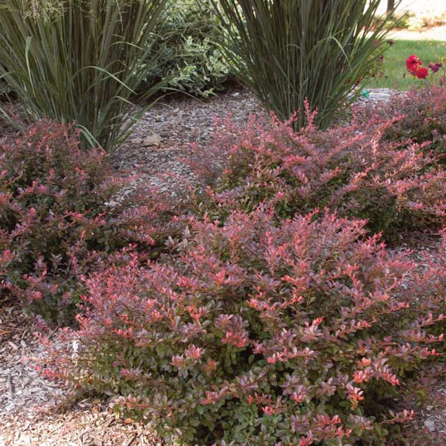 2.25-Gallon Cabernet Barberry