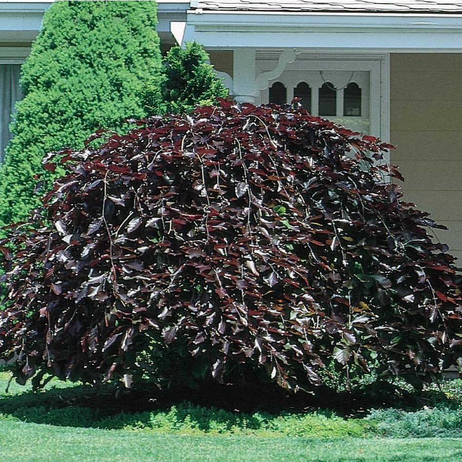 24.5-Gallon Purple Fountain Weeping Beech Feature Tree (L6780)