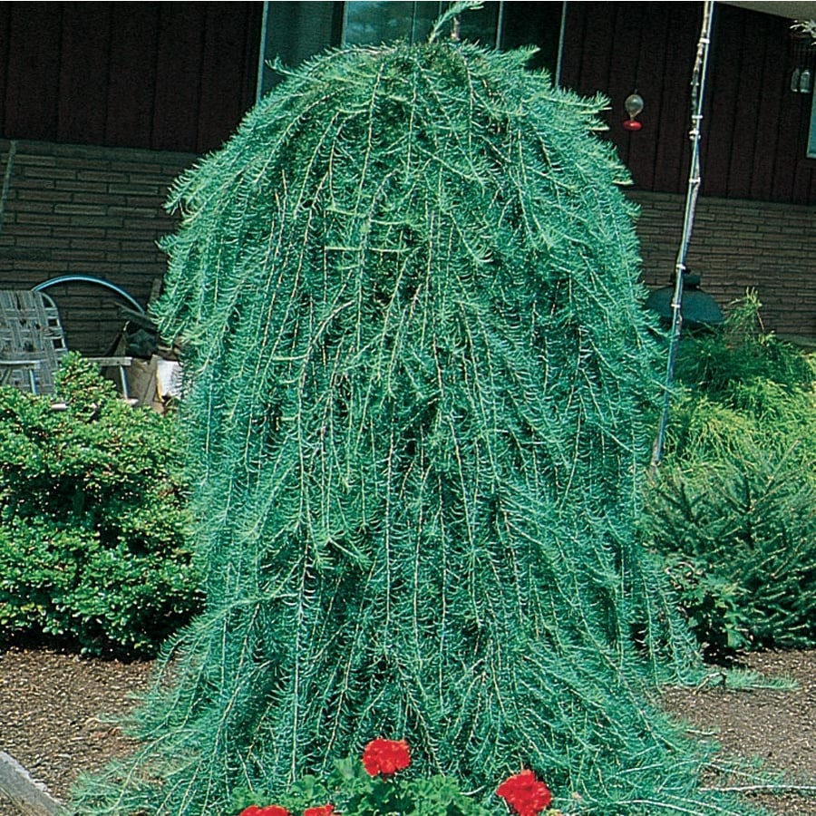 3.25-Gallon Weeping Larch Feature Tree (L17067)
