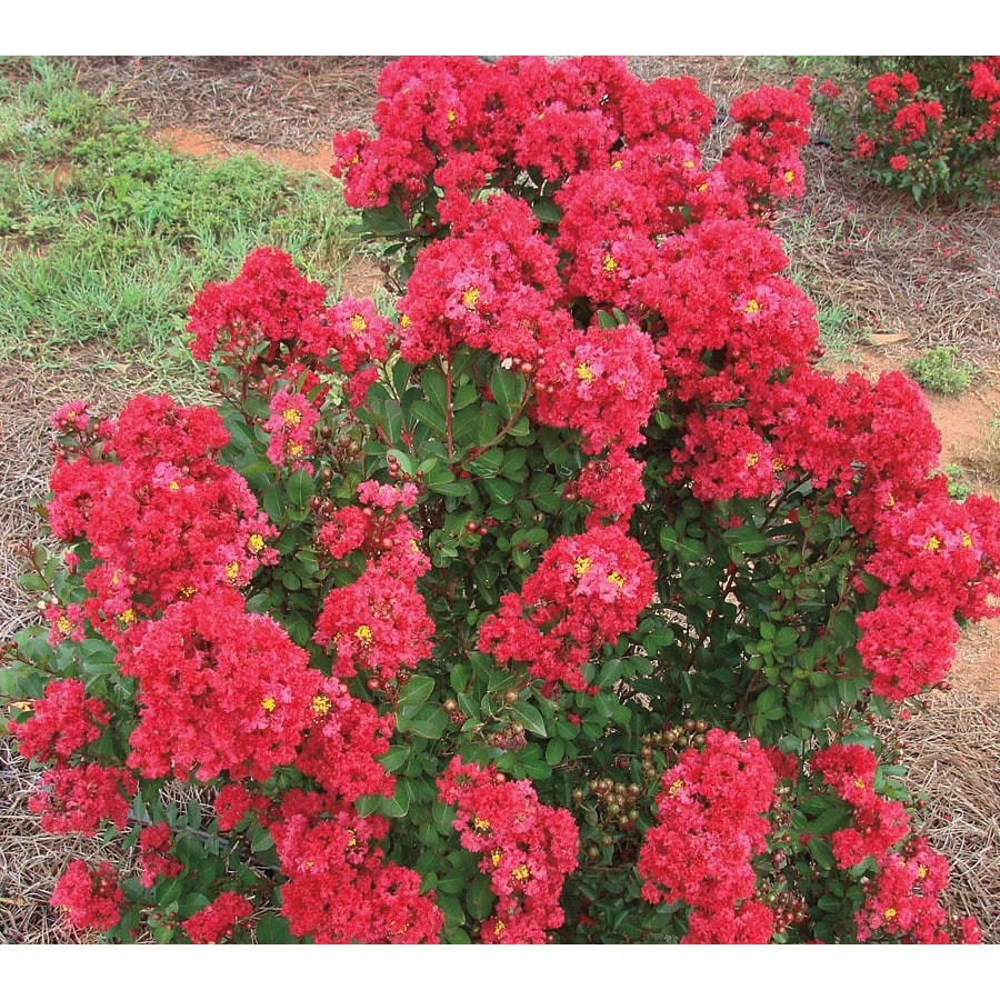 1-Gallon Red Enduring Summer Red Crape Myrtle Flowering Shrub (L26196)