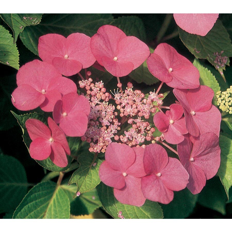 2-Gallon Pink Kardinal Hydrangea Flowering Shrub (L26194)
