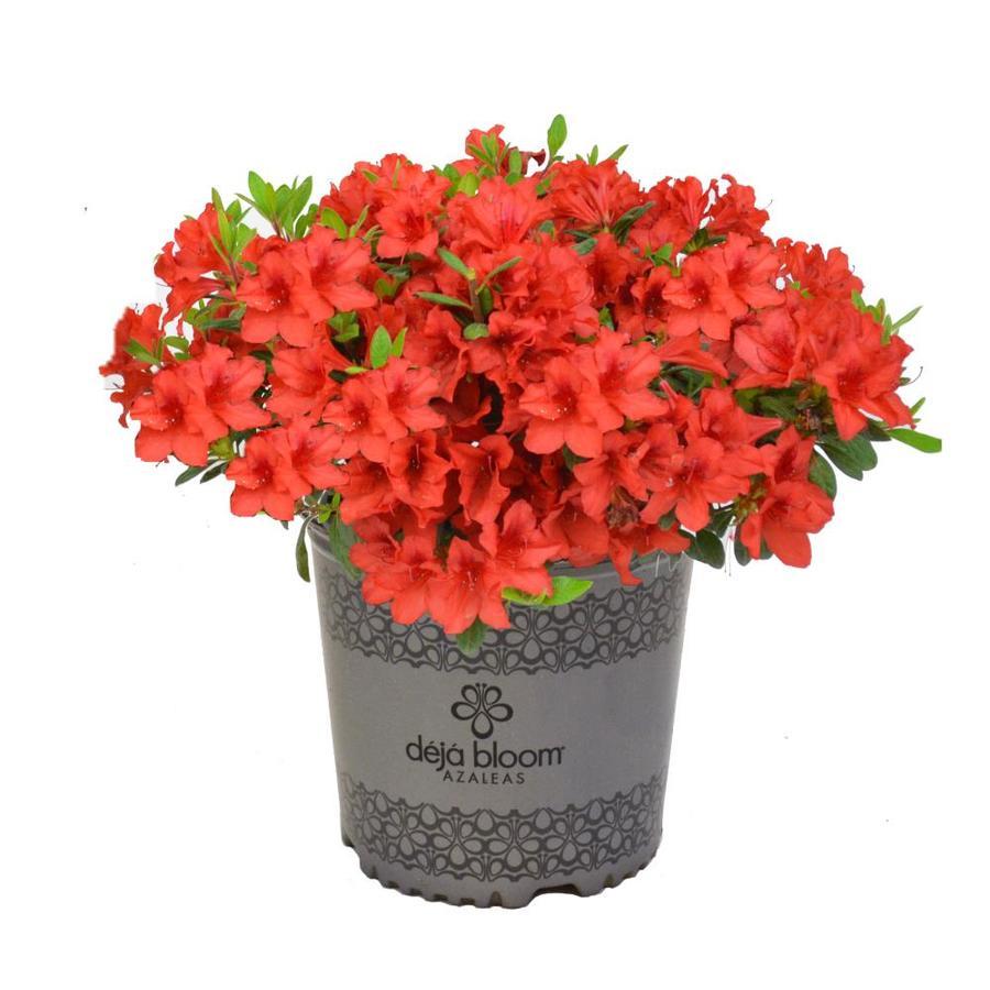 2.3 -Gallon Multicolor Mixed Flowering Shrub (N/A)