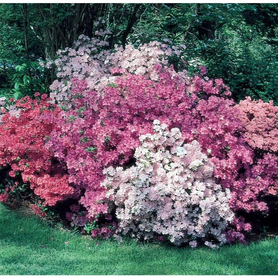 2.6-Quart Mixed Azalea Flowering Shrub (L5159)