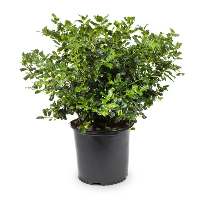5 x plants delivered buy direct special offer Holly shrub evergreens